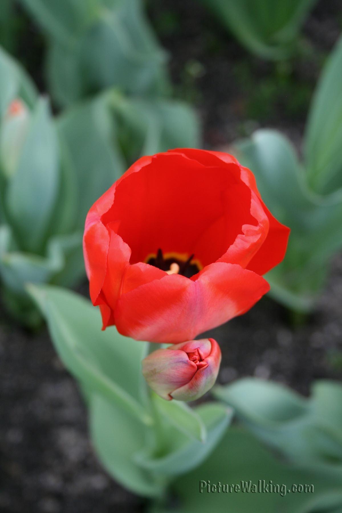 Tulpa Rojo Deshima