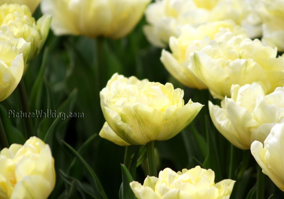 Flores Blancas Tulipan Holand Snow