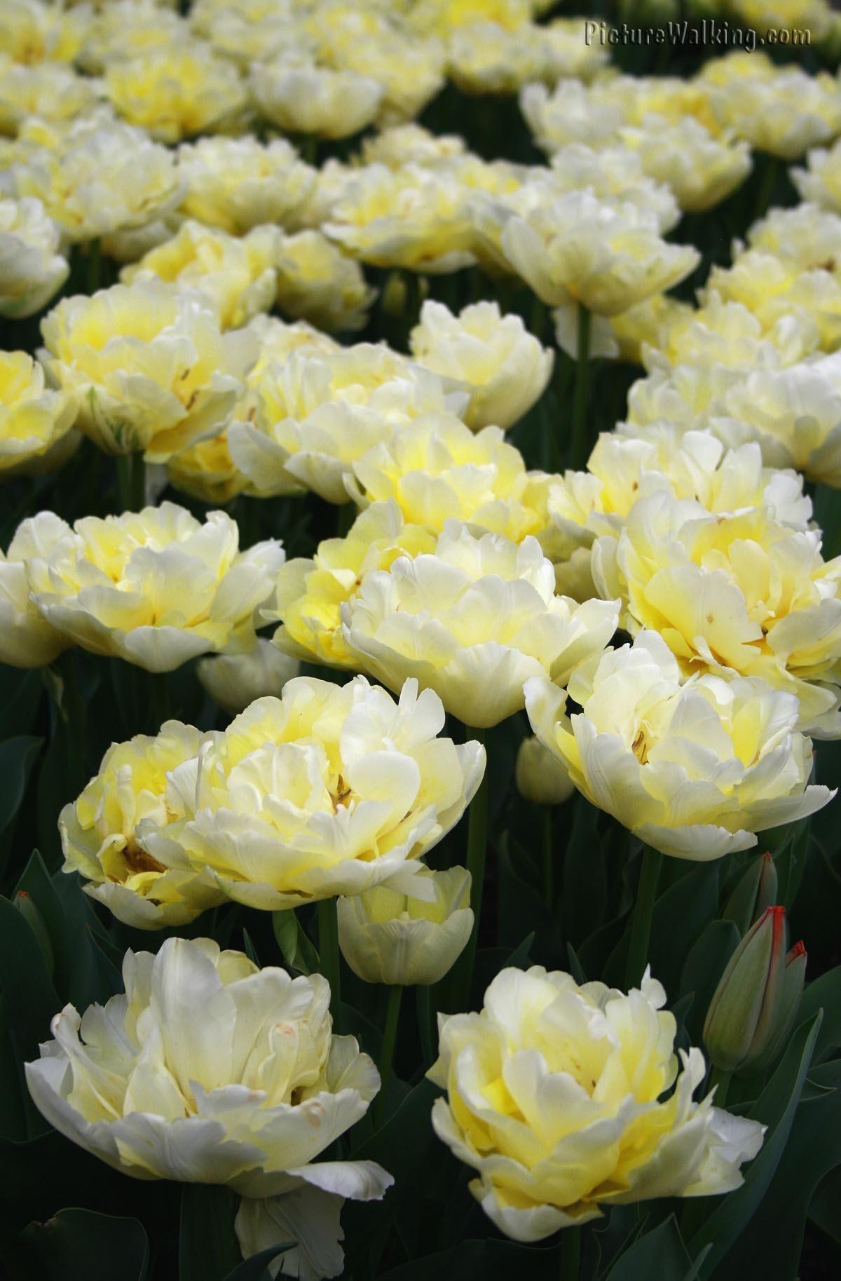 Flores Blancas Tulipa Holand Snow