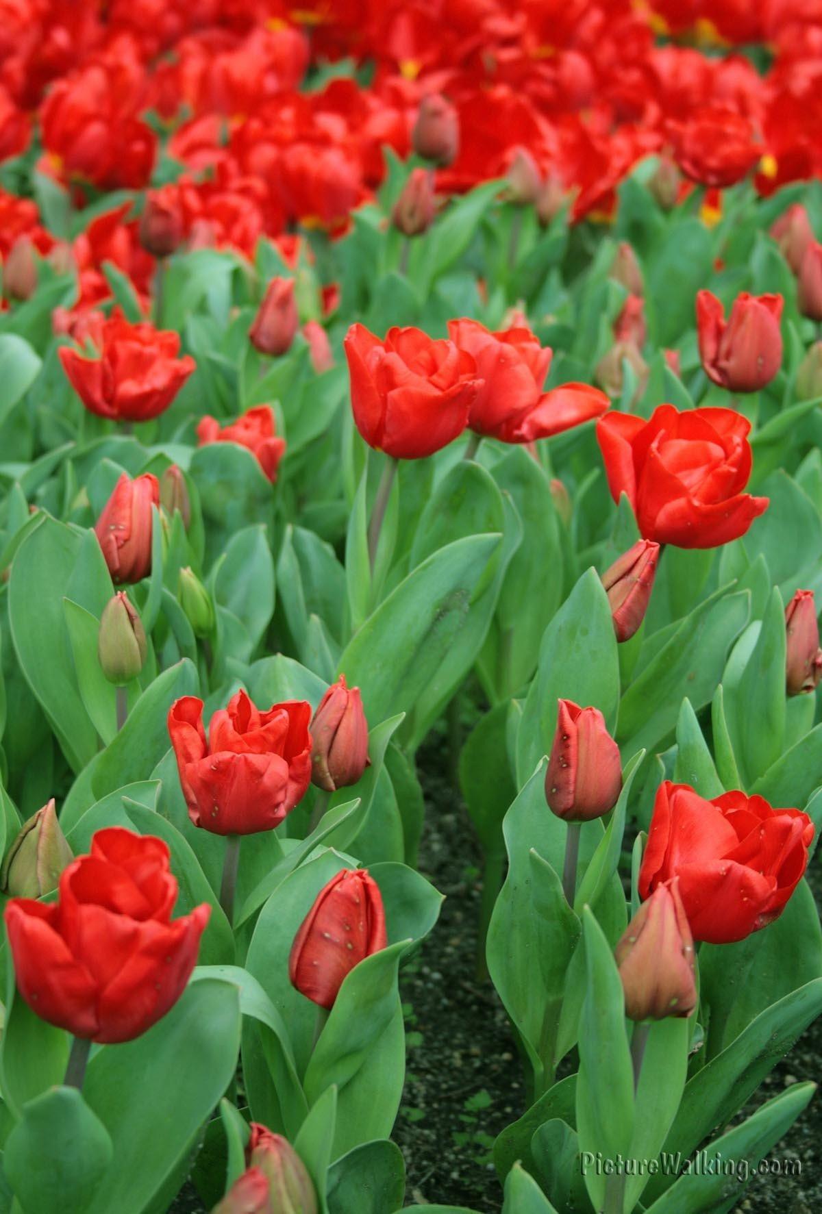 Tulipanes Rojos Ben Van Zanten