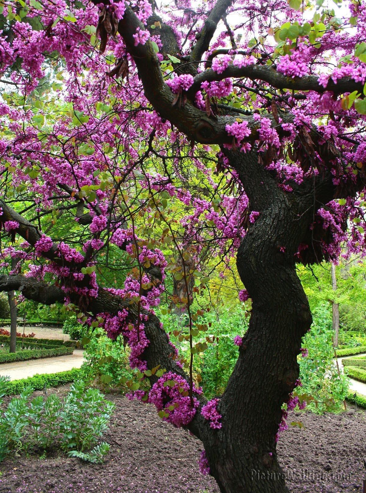 Árbol del Amor, Real Jardín Botánico de Madrid
