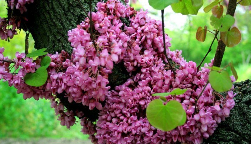 Arbol del Amor, también llamado Ciclamor, Algarrobo Loco o Árbol de Judas.